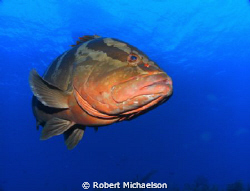 Grouper at Cayman Brac by Robert Michaelson 
